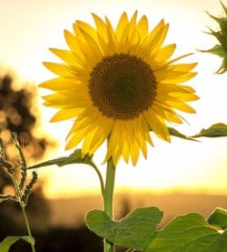 Well-being image of sunflower